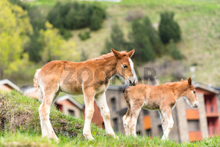 Foals on a summer pasture.