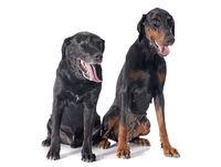 labrador retriever and dobermann