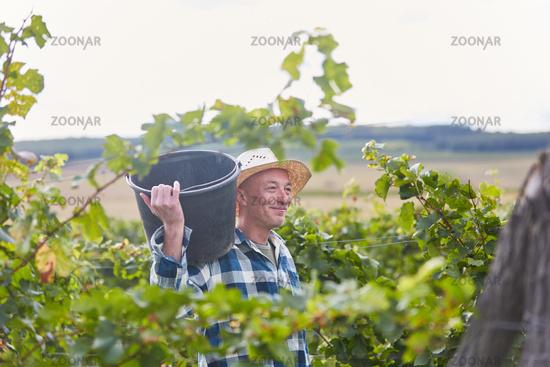 Junger Mann als Erntehelfer im Weinberg