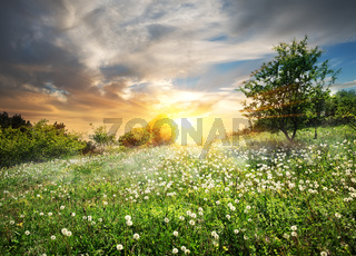 Sunrise over dandelions