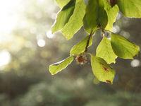 Close up of a beechnut in backlight