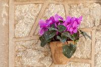 Blumentopf mit Alpenveilchen