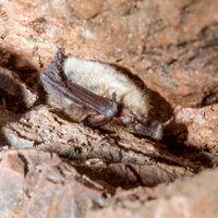 Eine Bartfledermaus überwintert auf dem Rücken liegend in einem alten Bergwerksstollen