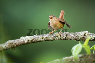 Eurasian wren calling on branch in spring nature.