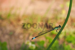Blue tailed damselfly on a flower stem