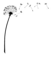 dandelion flower with flying seeds