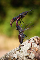 Two stag beetles fighting against each other on the wood.