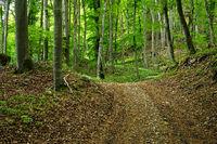 Waldweg mit Baerlauch gesaeumt