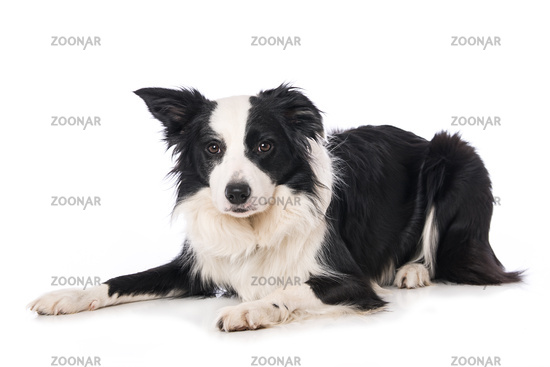 Border collie dog isolated on white background