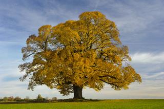 single big linden tree at autumn