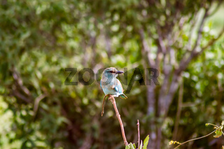 The Lilac Breasted Roller (Coracias caudatus) is beautiful and colorful. This African bird