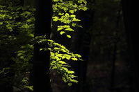 Morgensonne beleuchtet Buchenblaetter
