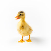 yellow little duck isolated