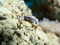Juvenile Graeffe's Sea Cucumber (Pearsothuria graeffei)