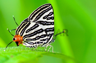 Club Silverline or Spindasis syama terana butterfly resting on a leaf of grass