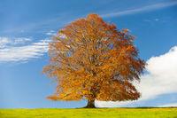 Rotbuche im Herbst allein auf einer Wiese im Allgäu