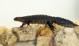 Bergmolch, Ichthyosaura alpestris