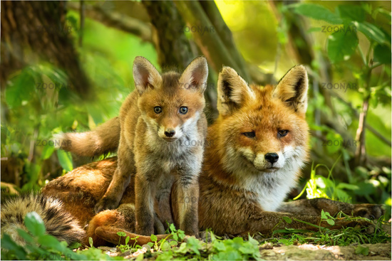 Enchanting red fox family resting in green summer forest near den