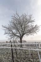 Weinreben und Nuss-Baum im Frost