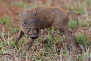warthog in the wilderness