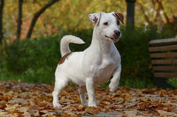 Terrier in a hunting stance with a raised paw