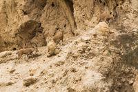 Steinböcke in der Wüste Negev
