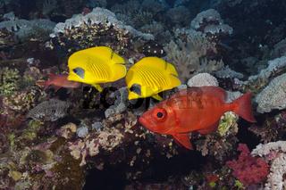 Masken-Falterfische, Aegypten