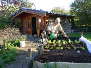 Hobbygärtner giesst  junge Salatpflanzen im Hochbeet mit einer Giesskanne
