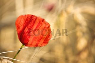 Blühender Mohn auf einem Feld bei untergehender Sonne