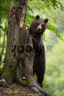 Attentive brown bear climbing the old tree while looking for some food