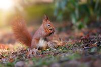 Little red squirrel biting nut in forest in sun light.