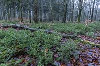 Abgestorbene, umgestuerzte Baeume schaffen Platz fuer neues Leben am Waldboden