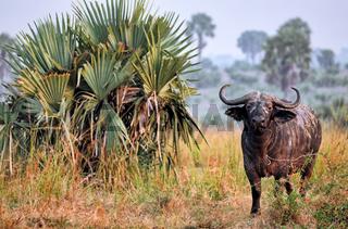 Afrikanischer Büffel im Murchison Falls Nationalpark Uganda (Syncerus caffer) | African buffalo, Murchison Falls National Park Uganda (Syncerus caffer)