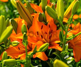 Offene orangefarbene Lilienblüten und geschlossene Lilienblüten in grün