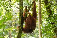 Orang Utan im Dschungel des Gunung Leuser National Park auf Sumatra