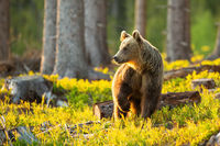 Brown bear looking aside with front leg up in the air inside sunlit forest