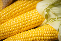 Ripe young sweet corn cob close upt