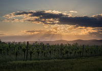 Vineyard in Burgenland at sunset