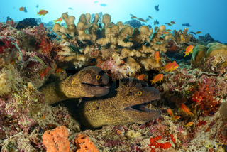 Gymnothorax flavimarginatus, Gelbgefleckte Muraene, Zwei Muraenen im Korallenriff, yellow edged moray, Two morays in coralreef, Malediven, Maldives