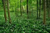 Baerlauch im Laubwald