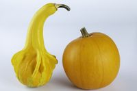 Yellow colored pumpkins on a white background