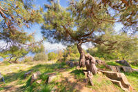 Seaside scenery with pine trees