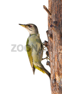 Grey-headed woodpecker sitting on tree isolated on white background.