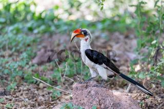 bird Von der Deckens Hornbill, Ethiopia wildlife