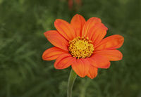 Mexikanische Sonnenblume 'Tithonia rotundifolia'