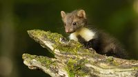 Little beech marten cub crawling on branch in spring forest