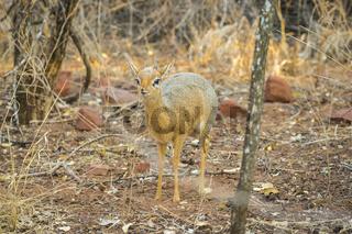 A Dik dik antelope in the Waterberg Plateau National Park, Namibia.