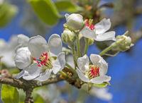 Birnbaumblüte 'Pyrus communis'