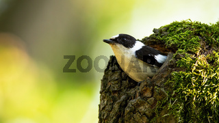 European pied flycatcher peeping out from the hollow in the moss-covered tree