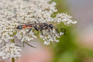 Sandwespe 'Ammophila spec.'